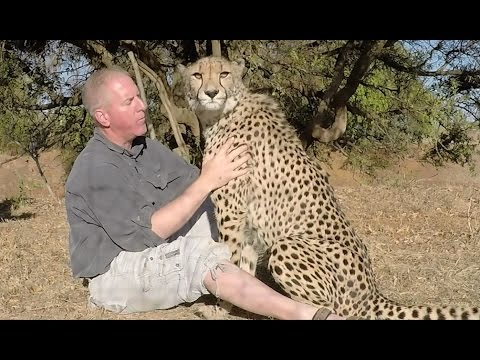 Thanksgiving Cheetah - Big Cat Thanks Friend For Feeding Him - Gives Hug & Kisses At Breeding Center