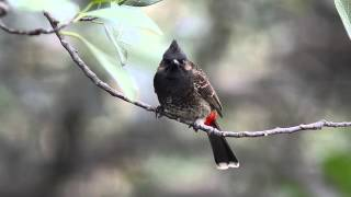 Red Vented Bulbul HD D7000