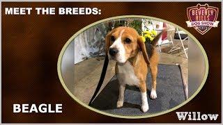 The Beverly Hills Dog Show: Meet The Breeds - Beagle