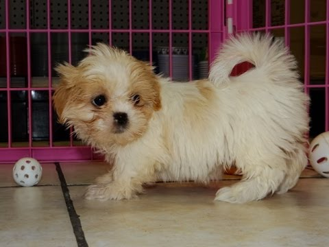 Shih Tzu Puppies Dogs For Sale In Denver Colorado Co