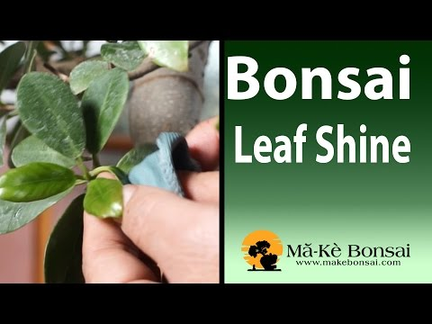100) Homemade Leaf Clean and Shine for you bonsai and house ... on house plant holders, house plant orchids, house plant liquid plant food, house plant pots, house plant cacti, house plant anthurium, house plant trays, house plant fertilizers, house plant vases, house plant pedestals, house plant moss, house plant cleaning, house plant insecticide, house plant fungicide, house plant spray,