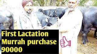Murrah Buffalo - First Lactation - Price 90000 - Purchased by Punjab Farmer