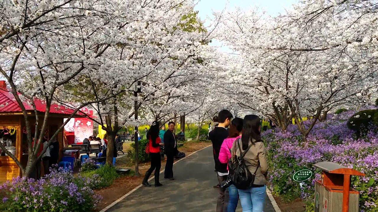 2014年3月25日武漢之行(東湖公園櫻花節)D - YouTube