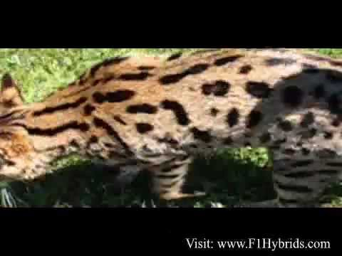 Ashera Cats - Worlds Most Expensive Cat