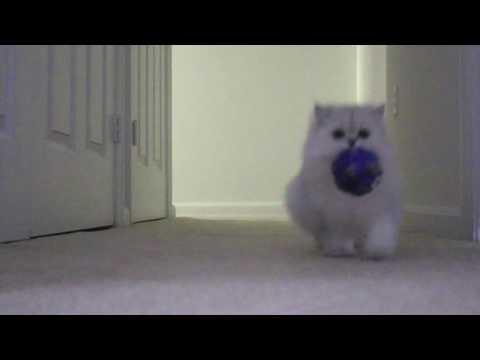 Cat Plays Fetch