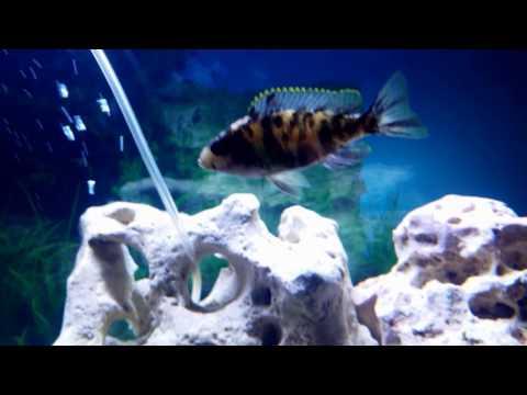 1.1/2017 Malawi Fisch Aquarium Fluval Vicenza 260L Fish Tank 68 Gallon Buntbarsche
