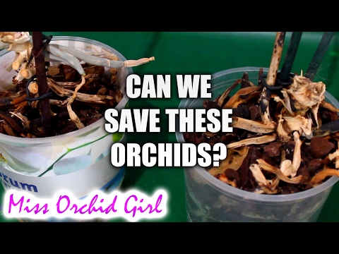 Are these Orchids dead or alive? - saving Orchids through keikis