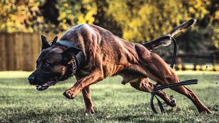 Best of Belgian Malinois  The Best Police and Military Dogs PT1