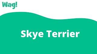 Skye Terrier   Wag!