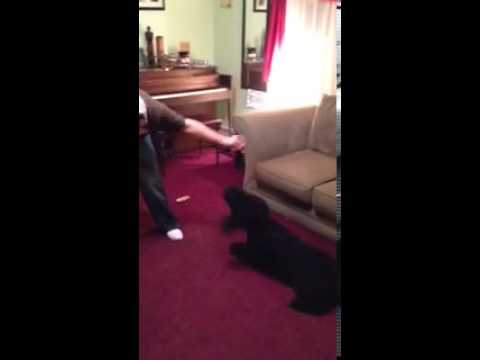 Buddy The Portuguese Water Dog doing his Tricks!