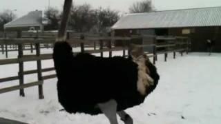 Страусы на снегу (часть 2). Драка страусов