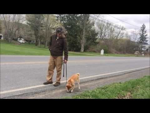 Dog training make in challenging for Shiba Inu