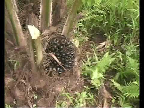 Viaggio nella foresta del congo youtube - Gli animali della foresta pluviale di daintree ...