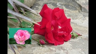 Healthy Roses Without fertilizers ? Use Right Type of Soil/Bonsai Hunter