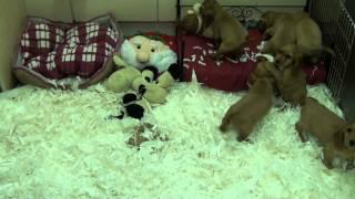 Little Rascals Uk Breeders New Litter Of Pedigree Golden Cocker Spaniel Little Boys And Girls