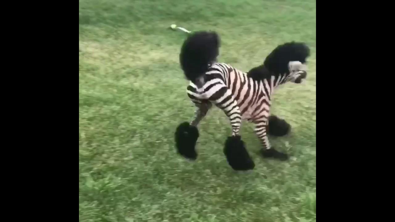 zeus zebrazoodle dog katrina_shorts ( official original video)