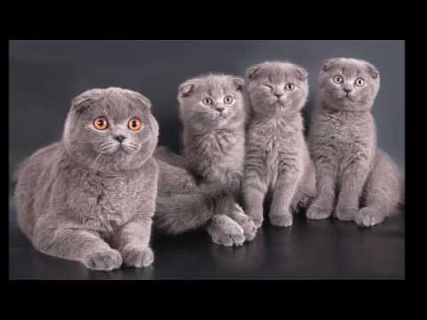 Scottish Fold cat History, Personality, Health, Care