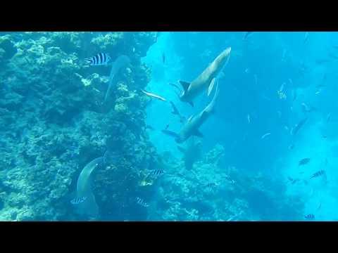 Fiji Snorkeling at Barefoot Kuata - Swimming with Sharks