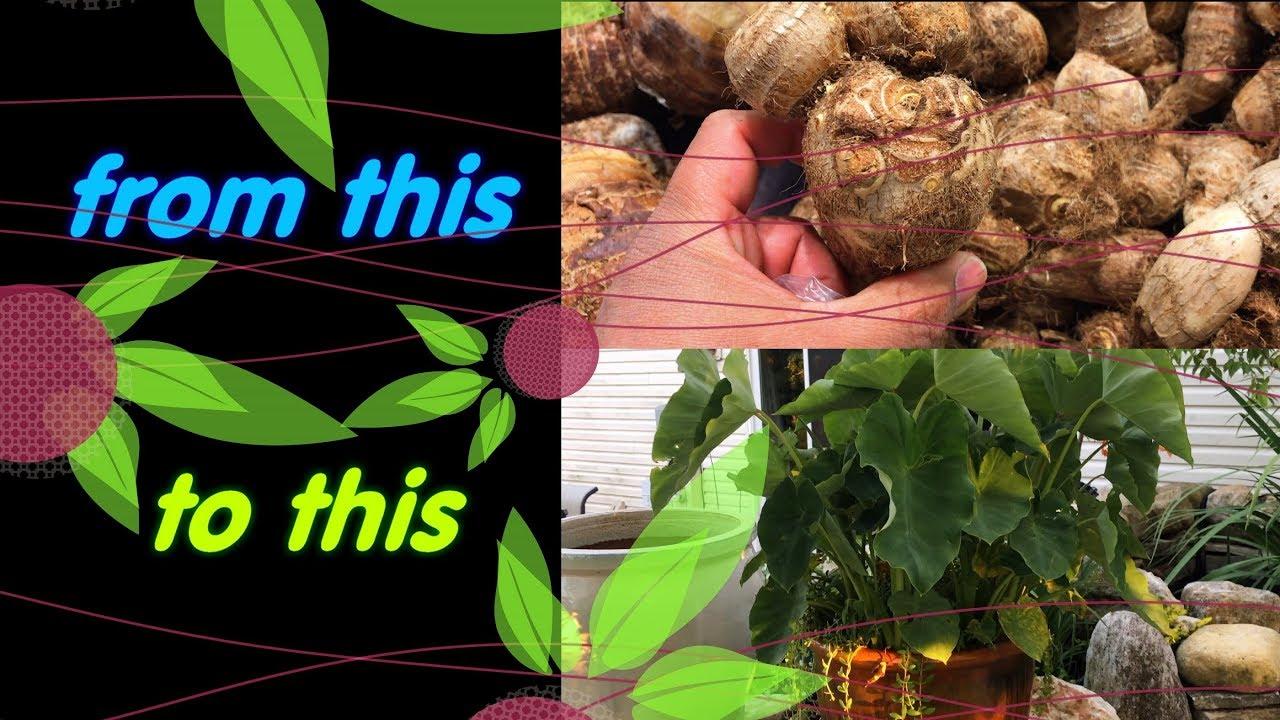 Growing Grocery Bought Taro Bulbs Colocasia Esculenta Youtube