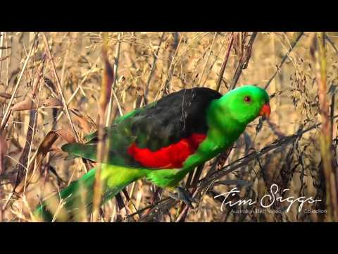 Red Winged Parrot (Aprosmictus erythropterus) HD Video clip 1/1 Australian Bird Media.