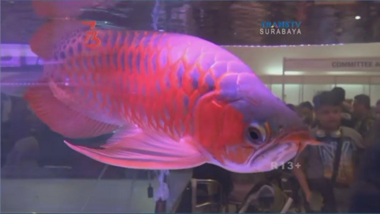Kontes Kecantikan Ikan Arwana