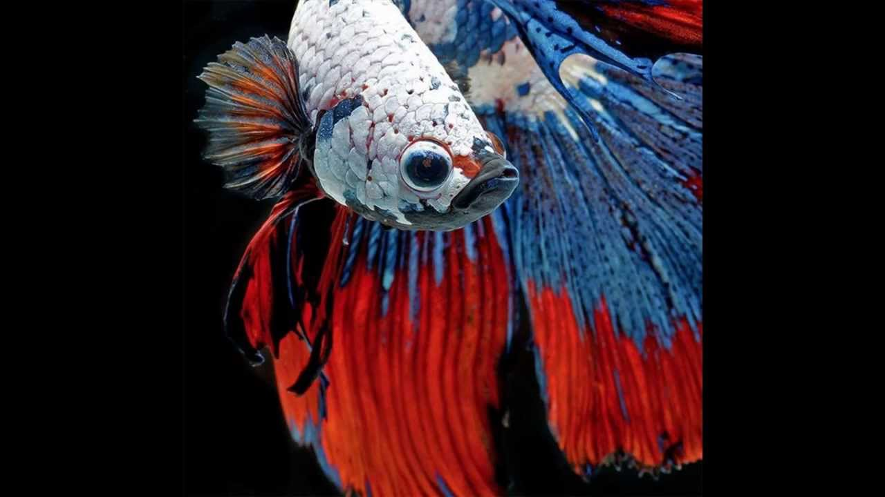 Beautiful siamese fighting fish hd1080p youtube for Why do betta fish fight