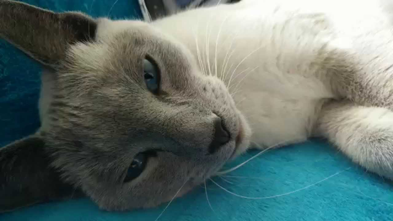 Oneplus One 4k Sample With White Russian Blue Cat Youtube
