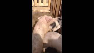 Schweine sex