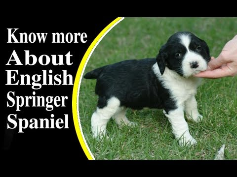 English Springer Spaniel Dog Breed Information -Dog Videos