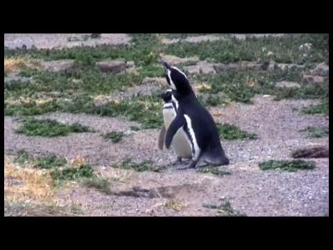 pinguini in Patagonia