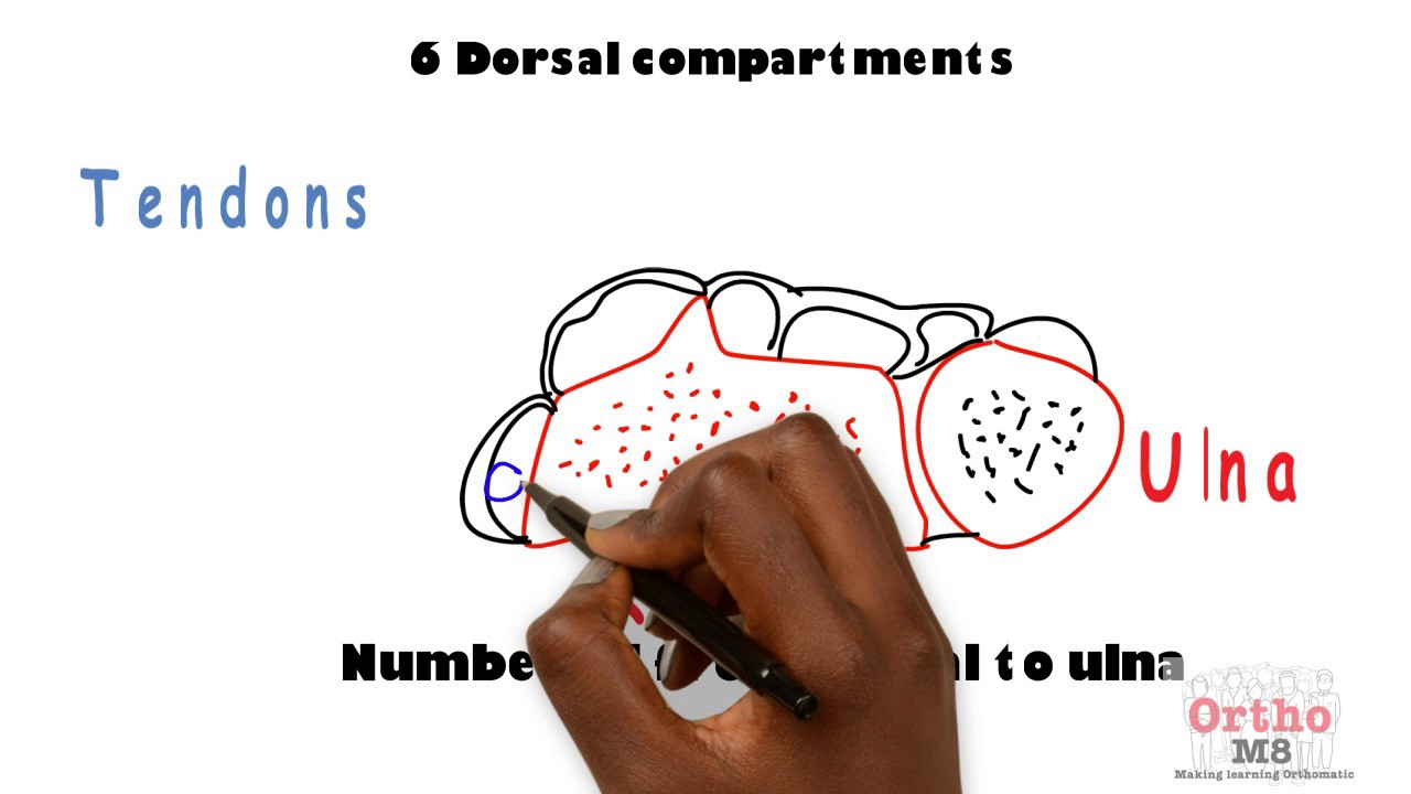 Basic Sciences - Anatomy of Dorsal Wrist Compartments - YouTube