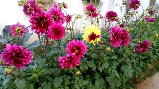 Download Video Dahlia plants life cycle MP3 3GP MP4