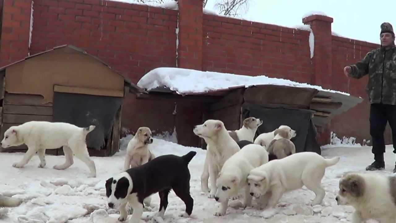 крупные щенки алабая-, среднеазиатская овчарка , продажа 8 .