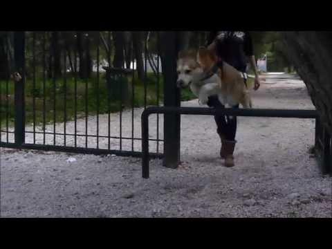 Husky Dog training (Parkour-Protection)