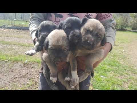 Bakarwal Dog Puppies | Tibetan Mastiff Puppies | Gaddi Dog | Ladakhi Bakarwal Dog | Himalayan Dog