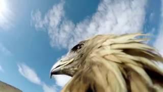 Орёл с экшен-камерой на спине атакует лису !!! Нападение хищника от первого лица !!!