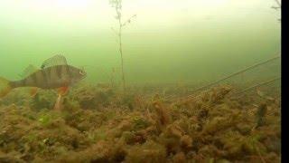 подводная съемка ловли окуня на безмотылку