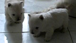 Cuccioli Di Westie Ad  Mese