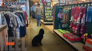 6 Month Old Spanish Waterdog | Best Waterdog Training | Offleash K9 | Board and Train | Oklahoma