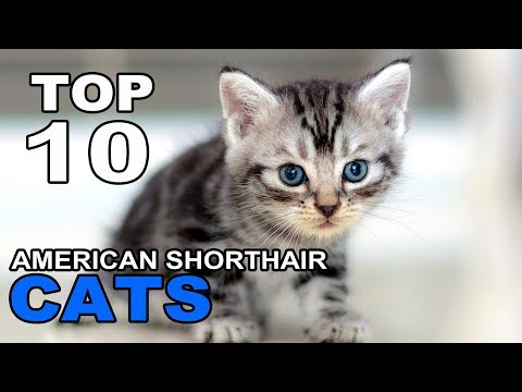 TOP 10 CUTE AND FUNNY AMERICAN SHORTHAIR CATS BREEDS