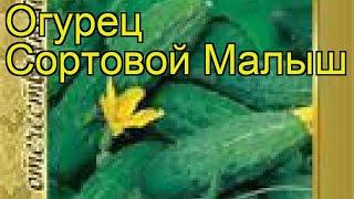Огурец сортовой Малыш (Malysh). Краткий обзор, описание характеристик, где купить семена