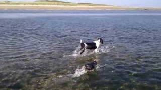 Yorkshire Terrier And Springer Spaniel On Murlough Beach Newcastle County Down Northern Ireland