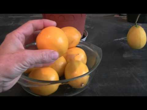 Первые плоды лимона.