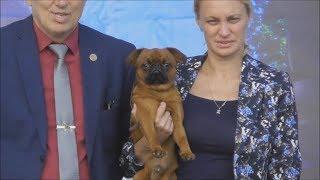 пти брабансон, видео с выставки собак