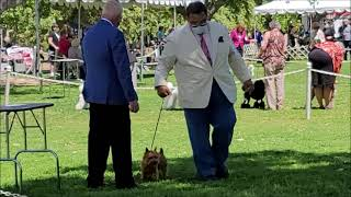Lila the Norwich Terrier New Champion from the Class to Best of Breed!
