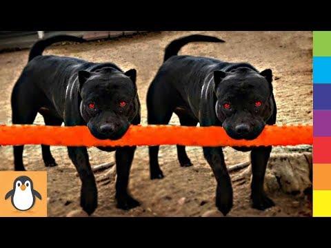 Para los Amantes del Perro Pitbull 🔥 Videos Divertidos y Lindos de Pitbulls