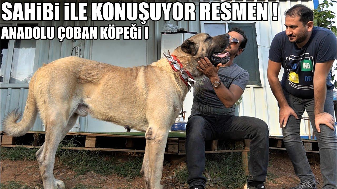 SAHİBİ İLE KONUŞAN KÖPEK ! RESMEN KONUŞUYOR BU ANADOLU ÇOBAN KÖPEĞİ ! #Kangal #Malaklı #Akbaş #köpek