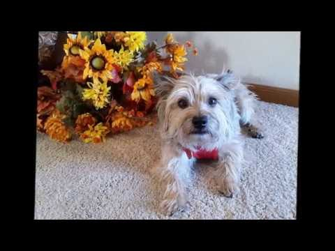 Buster - Cairn Terrier for adoption through Cairn Rescue USA