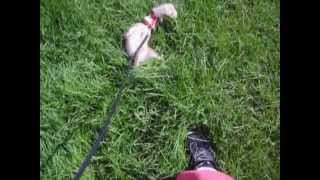 Ferret On A Walk - Ren