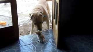Labrador llora por Culpa de un lindo Gatito!!!